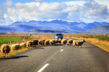 Herd of sheep crossing Highway