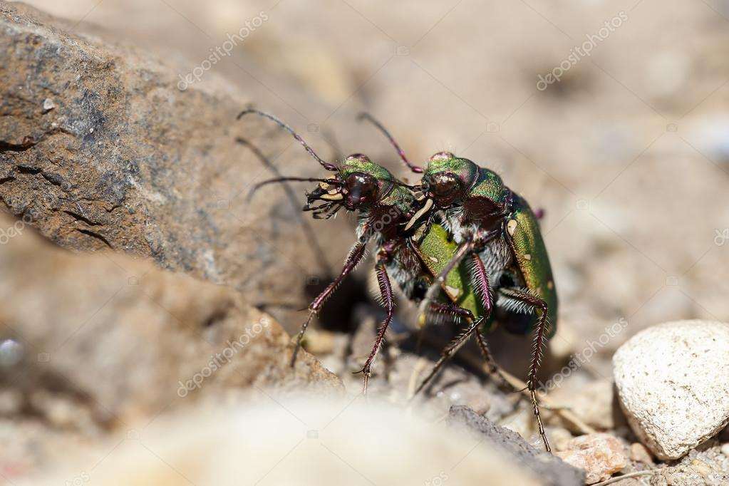 Field Tiger Beetle - mating