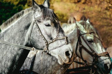 two grey horses