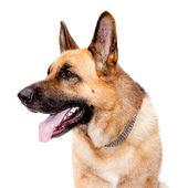 Fotografie Deutsche Shepard-Hund
