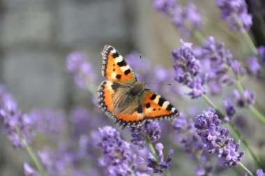 Butterfly on a lavender flowers