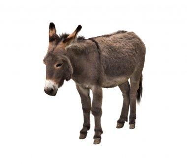 Donkey isolated on white