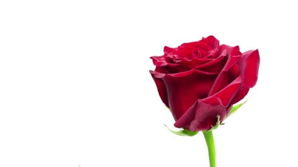 kvetoucí červené růže