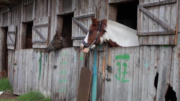 Zívající koně ve stáji