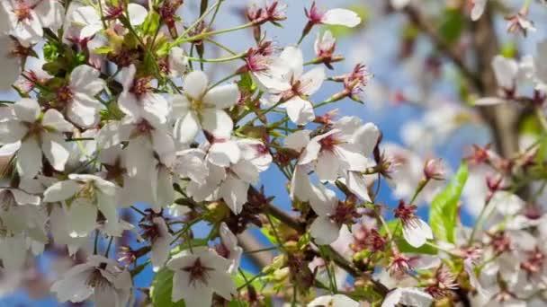 Větev stromu japonská Sakura Cherry blossom květy