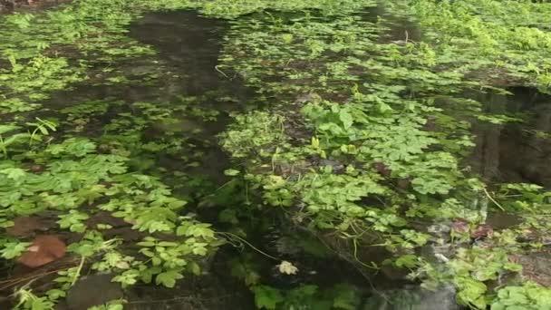 Vodní rostliny v Maninska Tiesnava, Slovensko