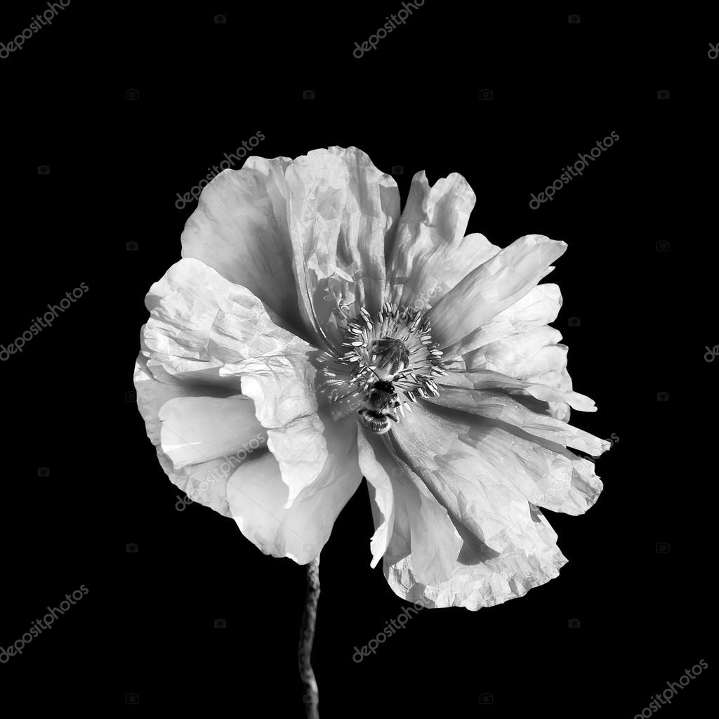 Black and white poppy flower and a bee.