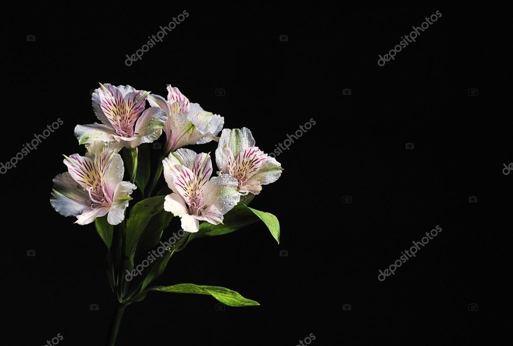 weiße blumen auf schwarzem hintergrund — Stockfoto © natlit #64785627