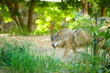 Gray wild Wolfs