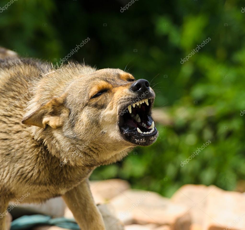 Adult Angry dog