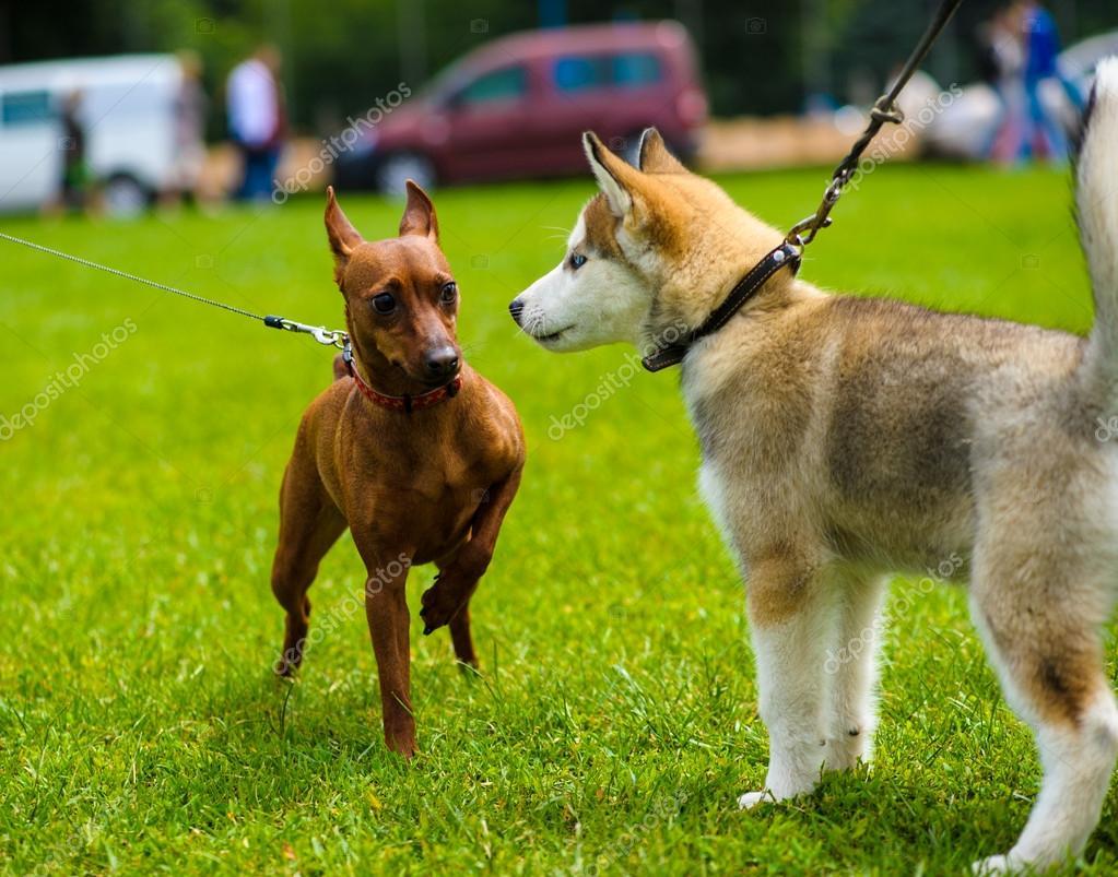 Erwachsene Hunde Niedlich Stockfoto Yulia Zl18 55923021