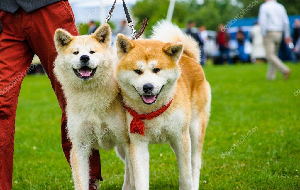 Erwachsene Hunde Niedlich Stockfoto Yulia Zl18 56075365