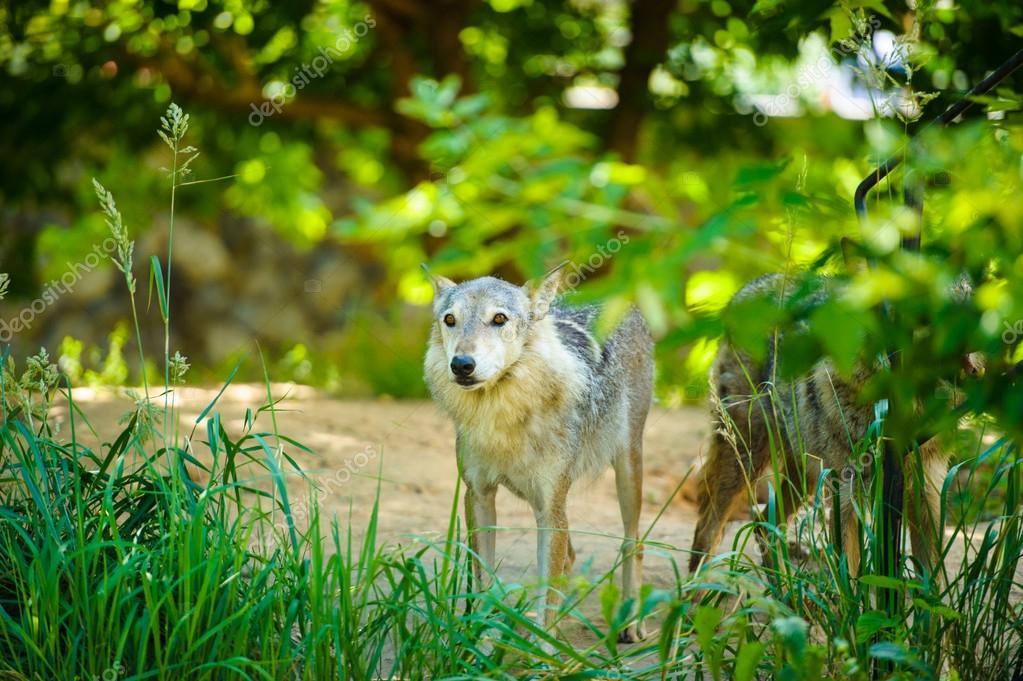 Lobos Salvajes Gris Fotos De Stock Yulia Zl18 56077915