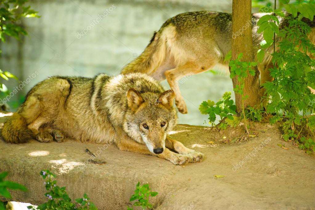 Lobos Salvajes Gris Fotos De Stock Yulia Zl18 56077963