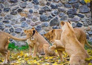 African big Lions