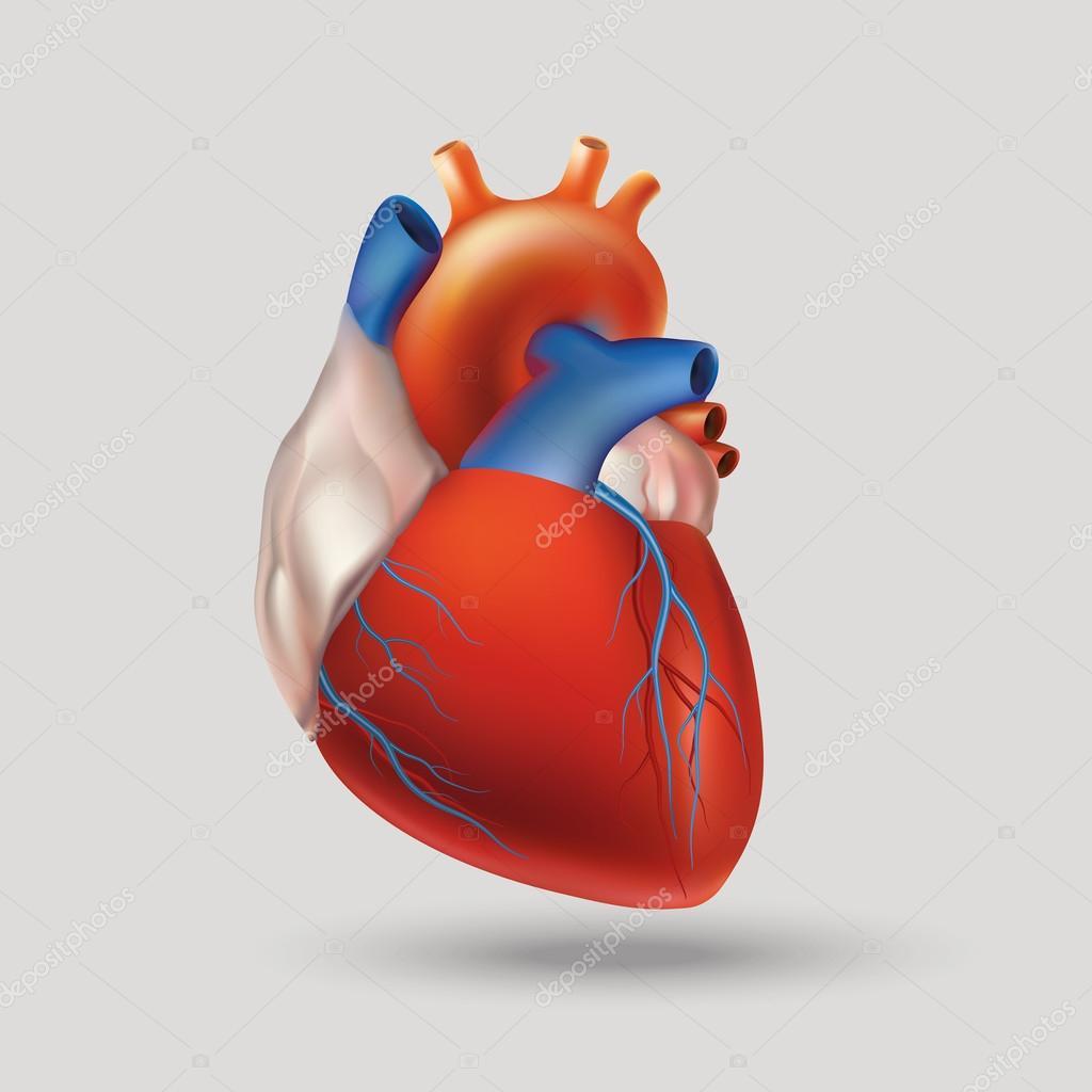 Modell des menschlichen Herzens — Stockvektor © AlfaOlga #85708868