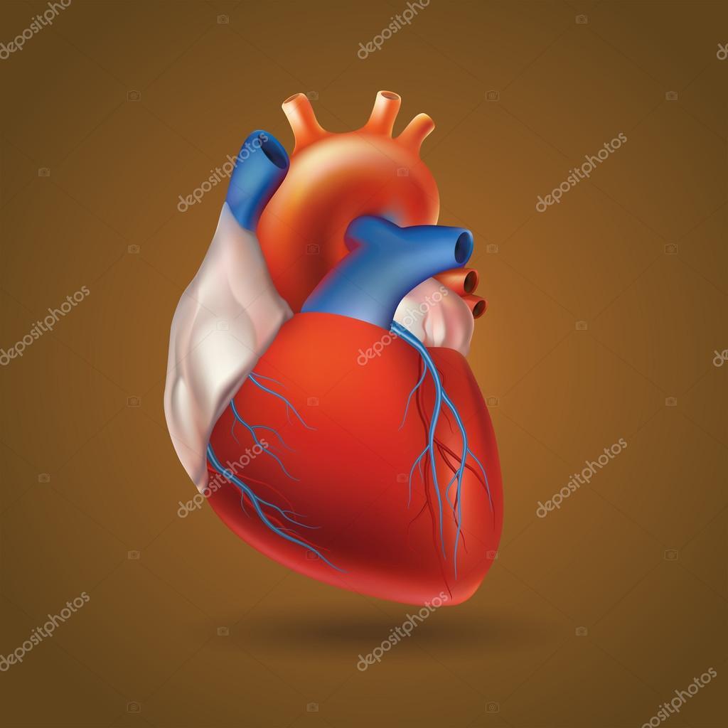 Modell des menschlichen Herzens — Stockvektor © AlfaOlga #85708876