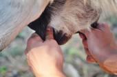 Coltivatore femminile che munge una delle sue capre closeup