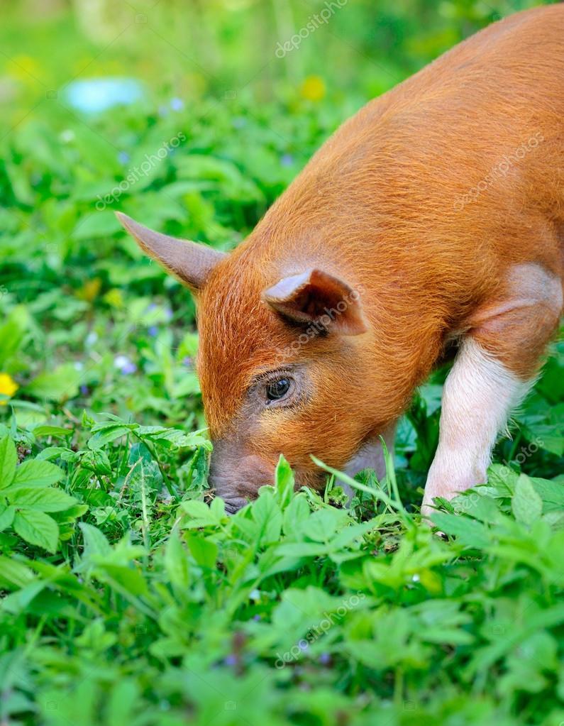 картинки поросята едят траву приобретать диваны