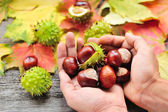 Fresh chestnuts in the hands on background autumn leaves
