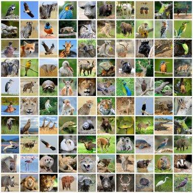 Collage of 100 photos of wildlife