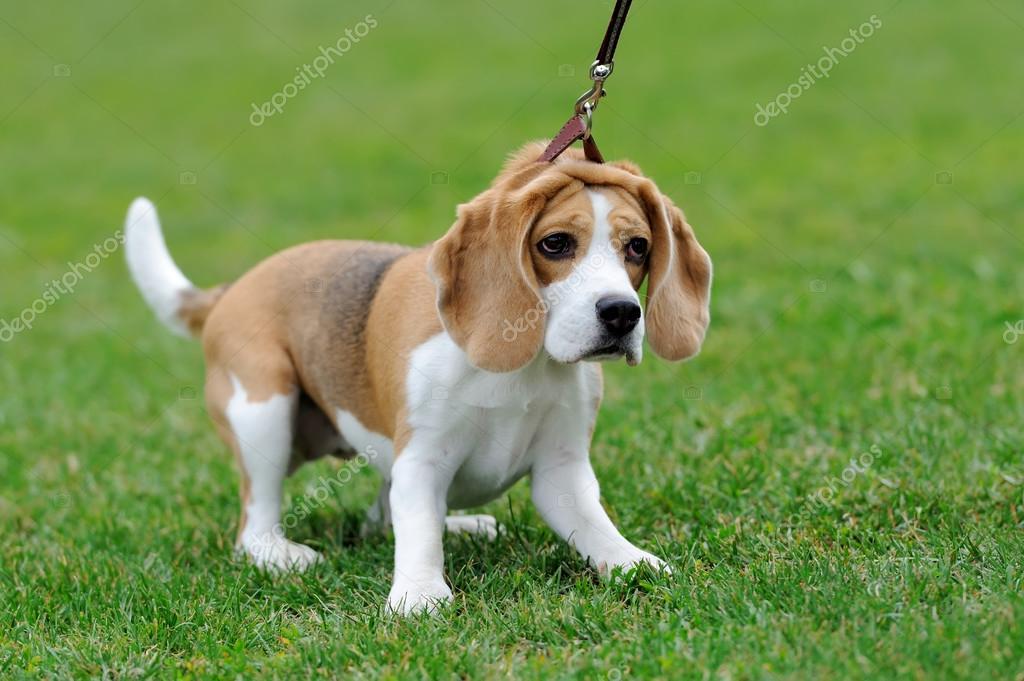 Enge Beagle Hund Stockfoto Volodymyrbur 118329754