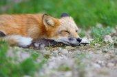 Portrét liška v přírodě