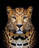 Photo Leopard portrait