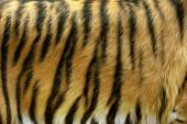 Fotografie Texture of real tiger skin