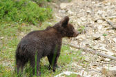 Fotografie Brown bear cub