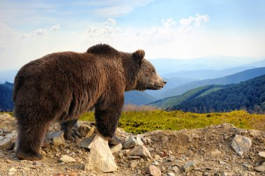 Brown wild bear