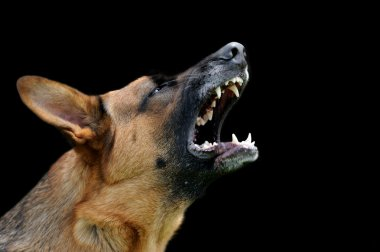 Angry dog on dark background