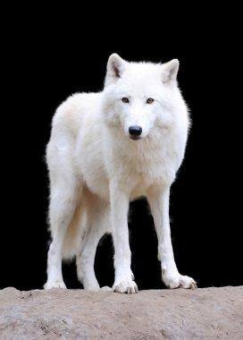 White wolf on dark background