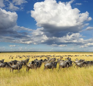 Wildebeest, National park of Kenya, Africa