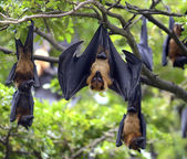 Fotografie Black flying-foxes (Pteropus alecto)