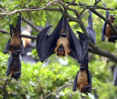 Black flying-foxes (Pteropus alecto)