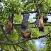 Flying Fox auf einem Zweig