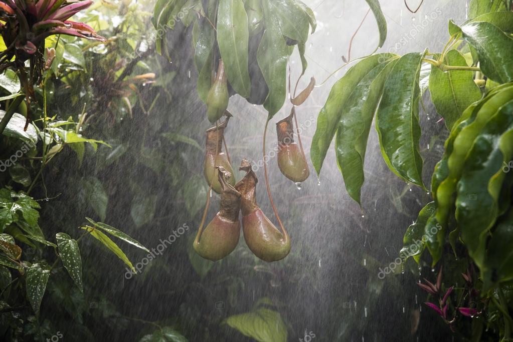 Beliebt Bevorzugt Fleischfressende Pflanze im tropischen Regenwald — Stockfoto @EZ_01