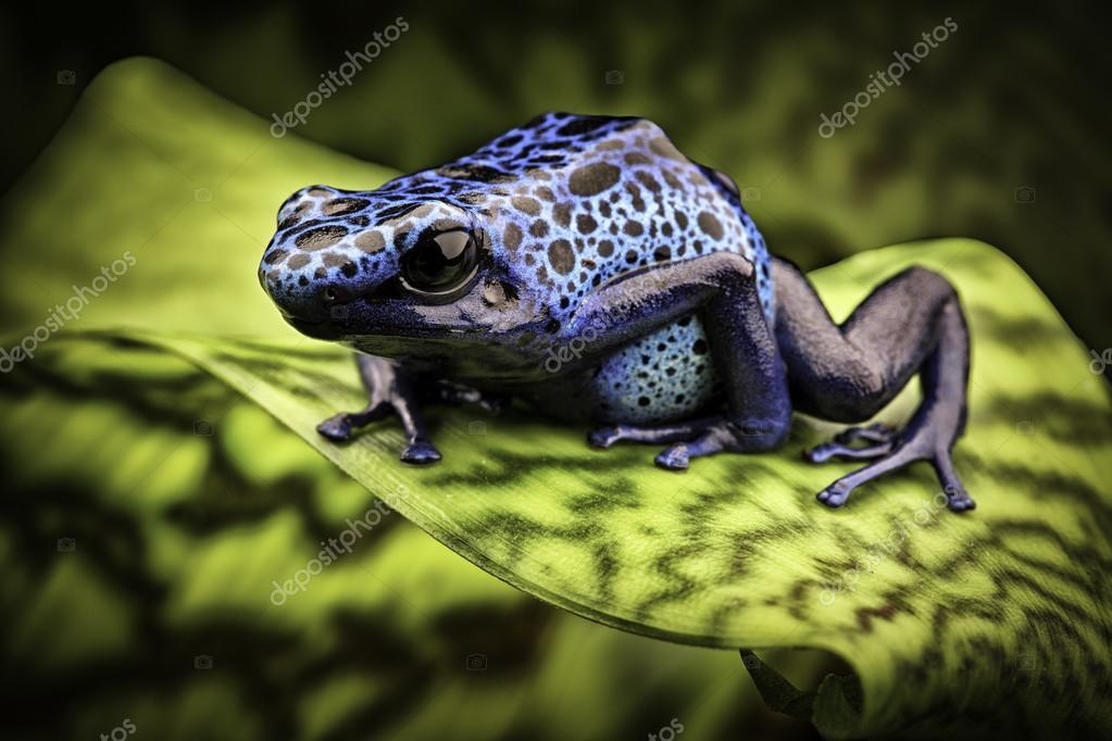Grenouille Bleue Venimeuse grenouille bleue — photographie kikkerdirk © #79398970