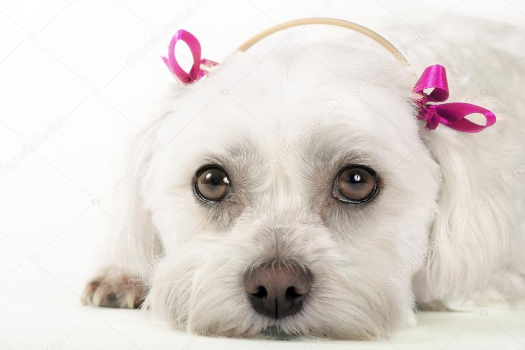 Resultado de imagen para 犬 maltese 悲しい