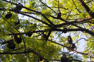 View of Indian bats hanging on a tree