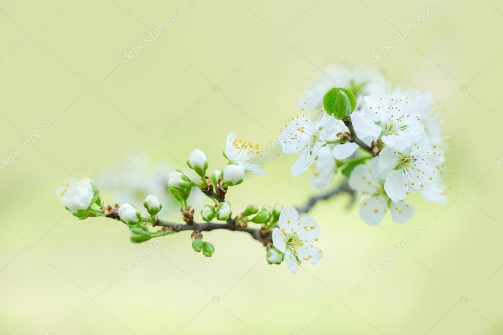 Blühender Baum im Frühjahr mit weißen Blüten — Stockfoto © dimabl ...