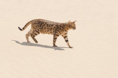 Savannah cat in desert