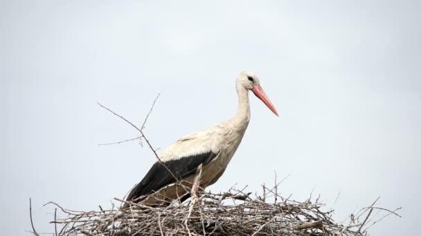 Kranichvogel in seinem Nest