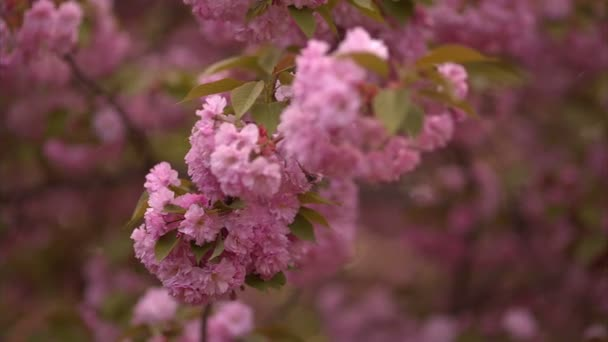 Kvetoucí strom na jaře s růžovými květy