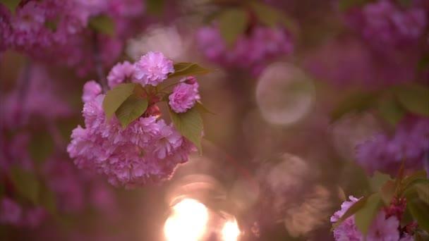 blühender Baum im Frühling mit rosa Blüten