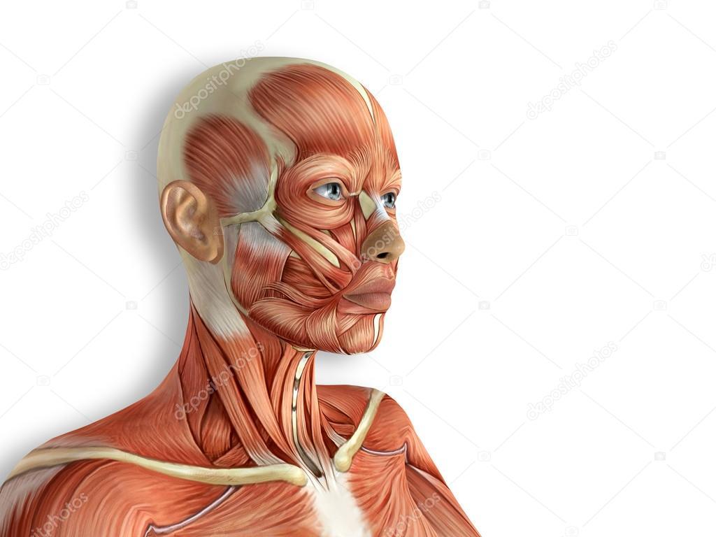 Vrouwelijke gezicht spieren anatomie — Stockfoto © DeryaDraws #100788646