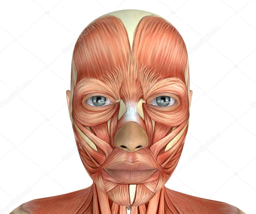 Weibliches Gesicht Muskeln Anatomie — Stockfoto © illustrart #100788724