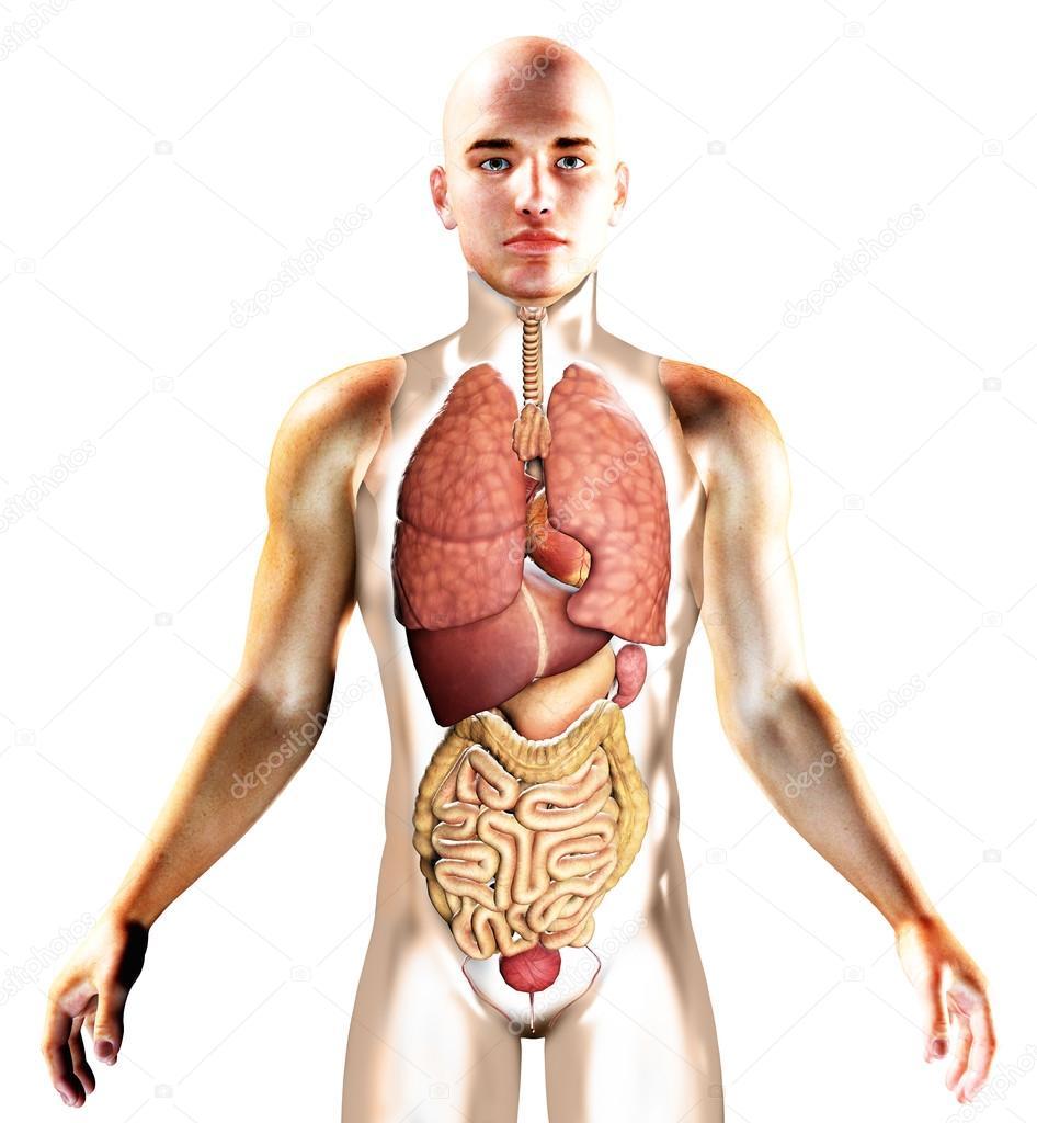 3D Render der inneren Organe mit menschliche silhouette — Stockfoto ...