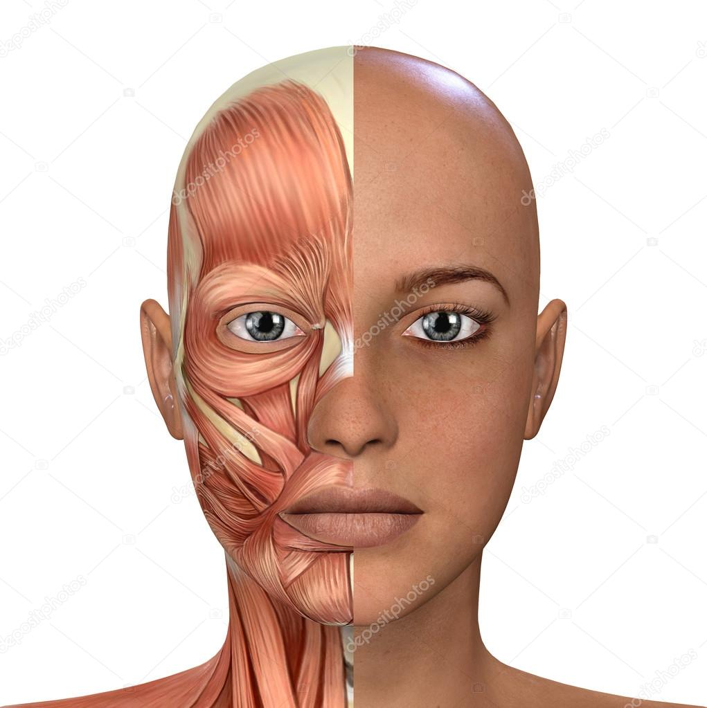 Female Face Muscles Anatomy — Stock Photo © DeryaDraws #104451228